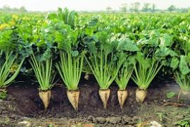 Arias - sugar beet